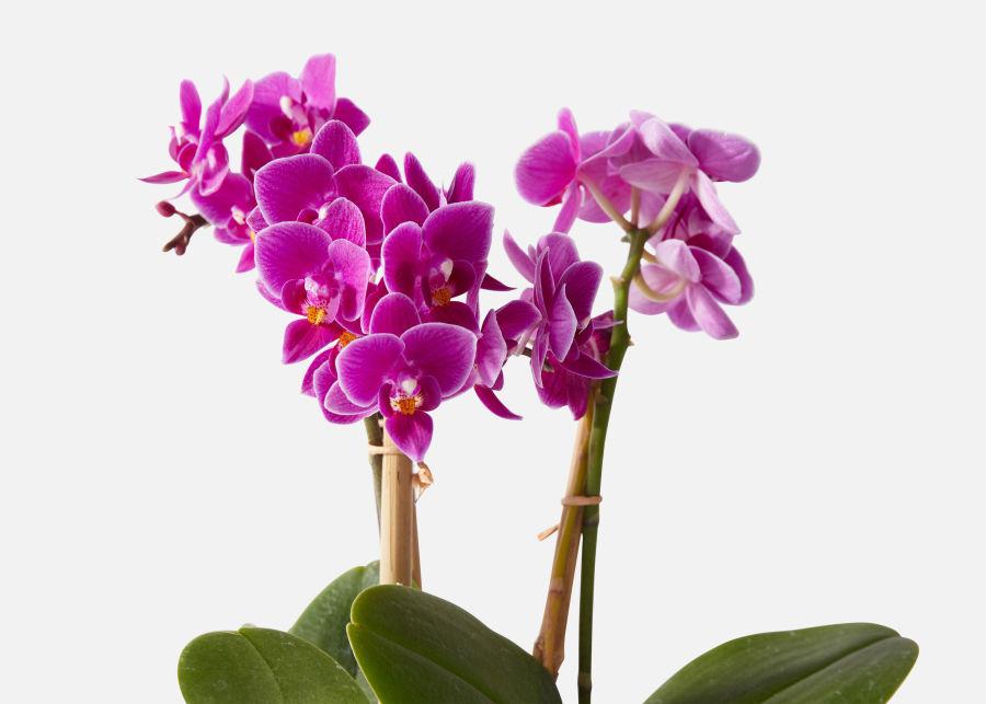 Орхидея фиолетовая-2