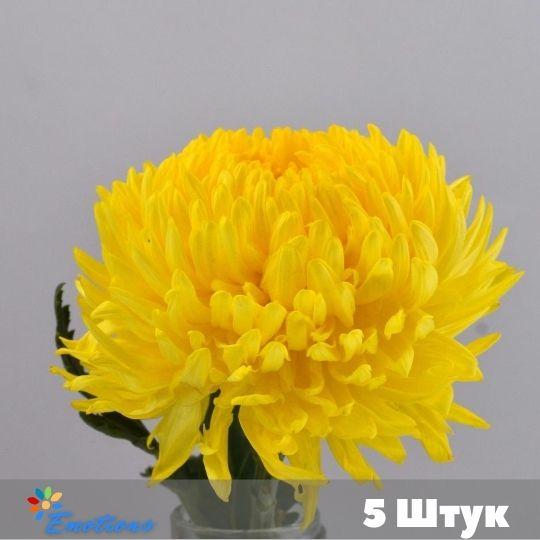 5 Хризантем в ассортименте без упаковки