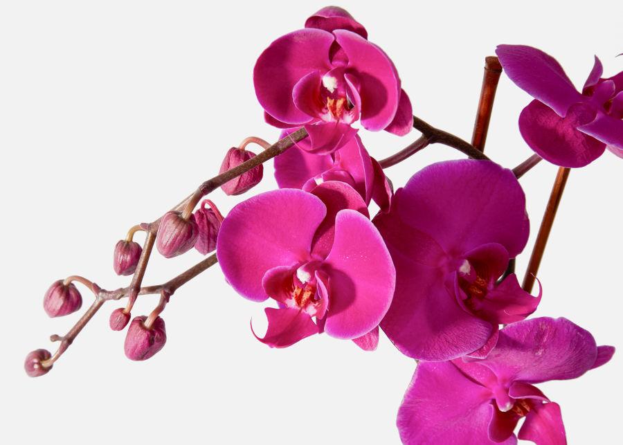 Орхидея фиолетовая-1
