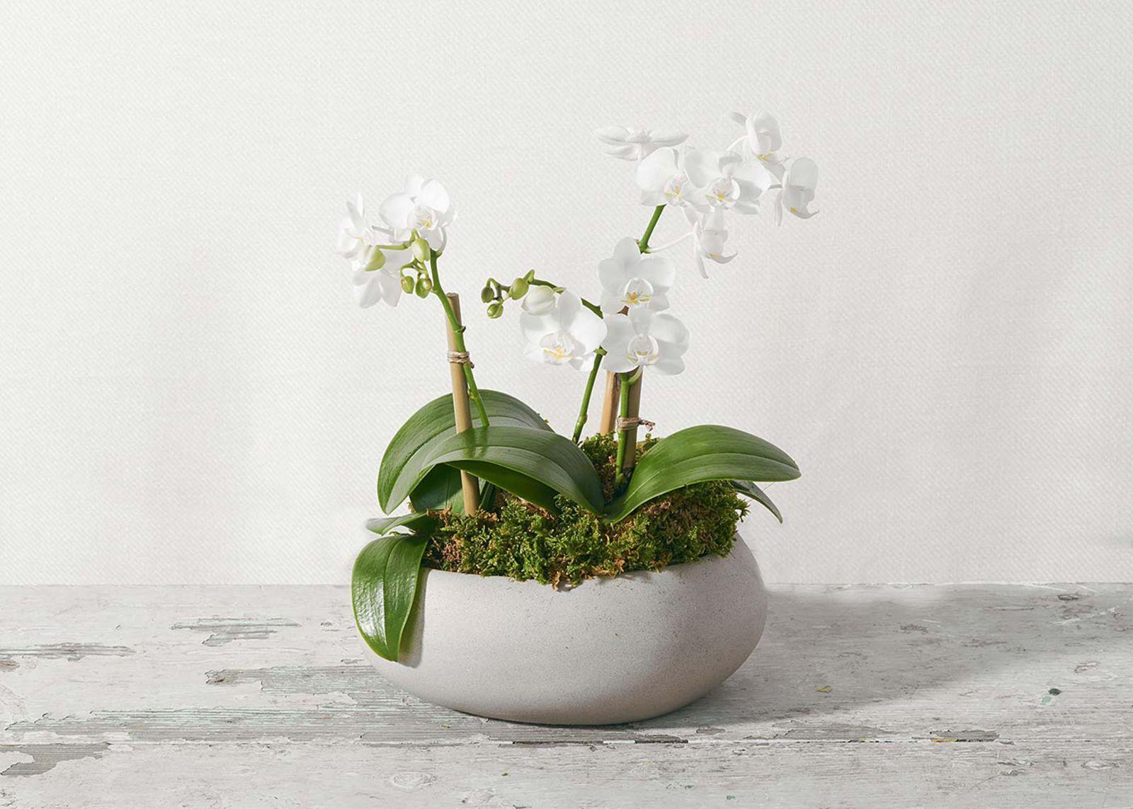 орхидея крохотная