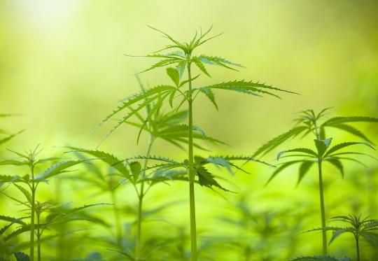 Растение конопли