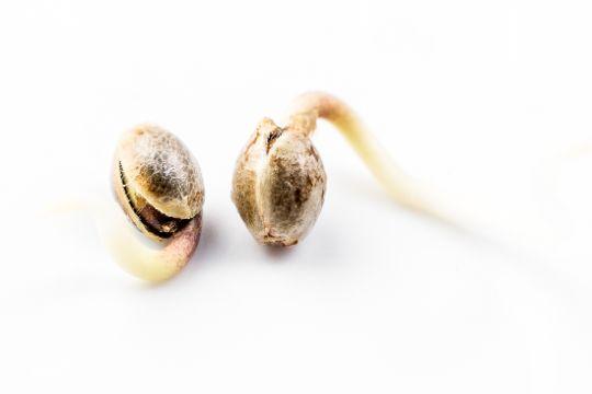 польза семени конопли