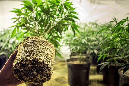 Корневая система растения конопля
