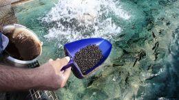 Идеальный источник протеина в кормах для ценных пород рыб
